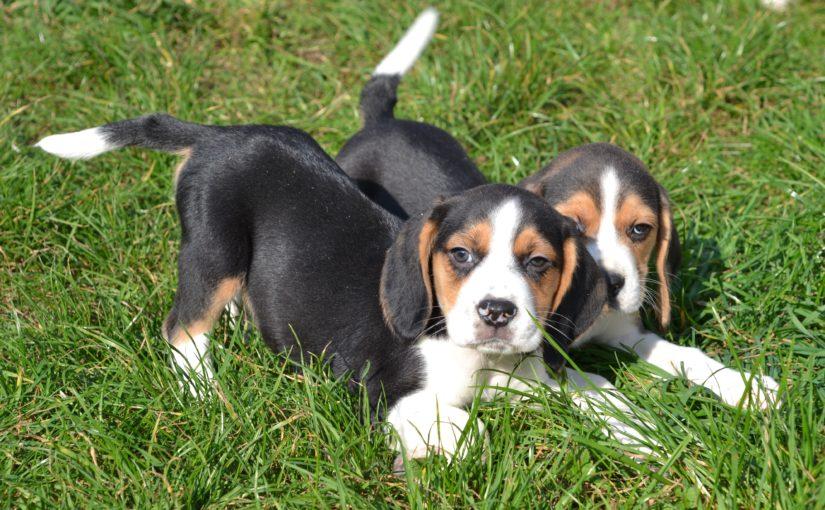 Chiots Beagle à vendre