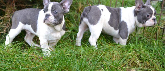 Bulldog mignon chiots à vendre
