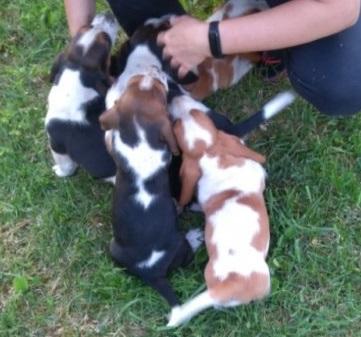 Basset hound    550€ - 1150€
