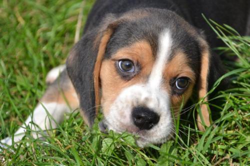 chiot beagle à vendre
