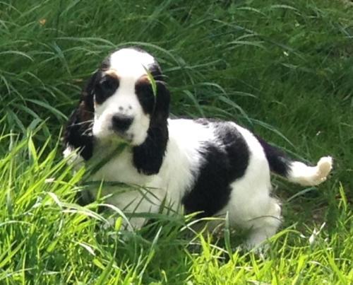 Beagle Puppy en ligne
